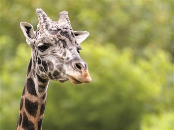 Giraffe at Longleat Safari Park