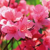 Rhododendrons of Norfolk