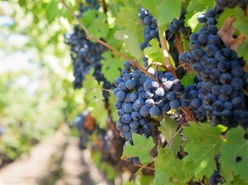 Purple grapes hanging in a vineyard