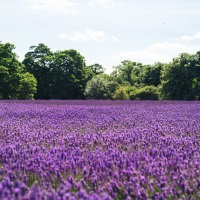 Norfolk Lavender and Hunstanton