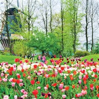 Dutch Bulbfields,Keukenhof Gardens & Flower Parade