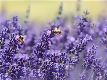An image of bees sitting on lavender