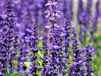 an image of lavender