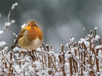 Christmas robin on an icy twig
