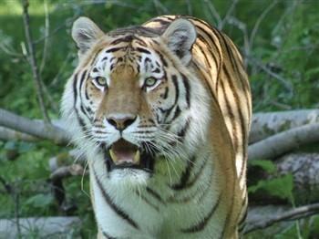 Siberian Tiger at Banham Zoo