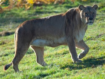 A lion within Woburn Safari Park
