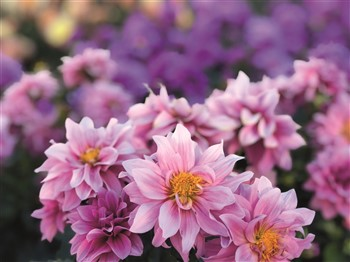 Flowers at Shrewsbury Flower Show